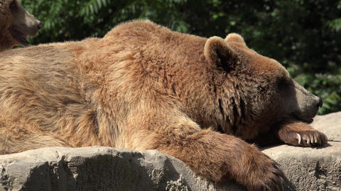 C0128 brown bears resting and relaxing Live Action