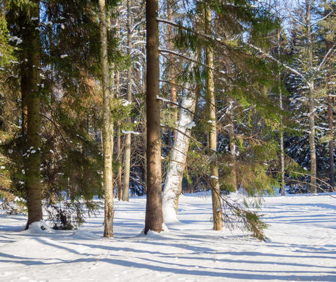 Winter landscape in forest with pines after snowfall Fotografía