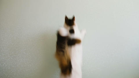 Cat jumps behind the sunlight on the wall slow motion Footage
