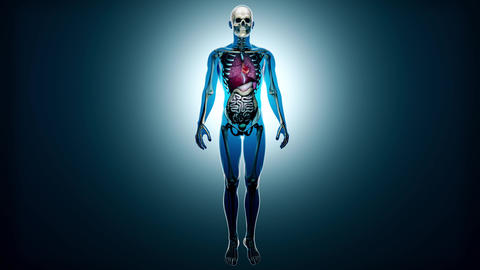 4K Healthy Internal Organs and Skeleton in a Transparent Human Body Anatomica Animation