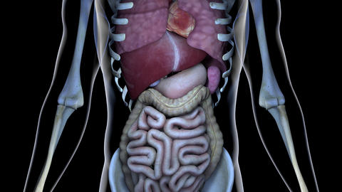 4K Healthy Internal Organs in a Transparent Human Body Anatomical 3D Animation Animation