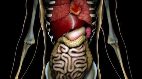 4K Healthy Internal Organs in a Transparent Human Body Anatomical 3D Animatio Animation