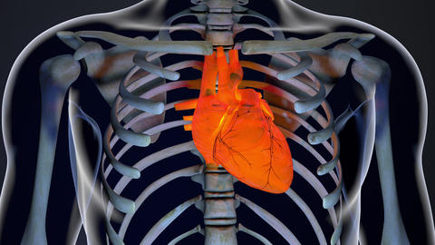 4K Human Body Transparent Heart Modern Anatomical 3D Animation 1 Animation