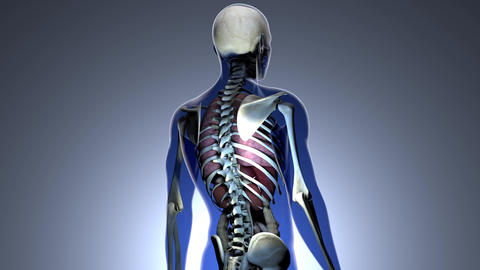 4K Internal Organs Get Sick and Skeleton in a Transparent Human Body Anatomic Animation
