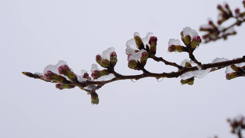 Cherry blossoms or sakura buds in the snow 영상물