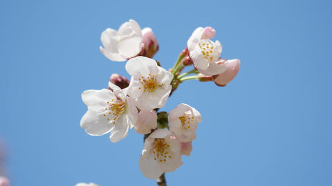 Cherry blossoms or sakura almost reach full bloom Live Action