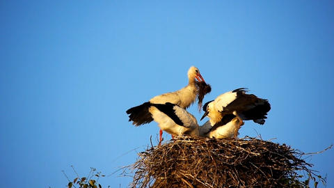 Storks  Nest  2 stock footage