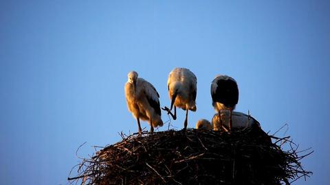 Storks nest Stock Video Footage
