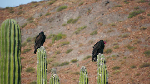 Two Turkey Vultures Cleaning Stock Video Footage