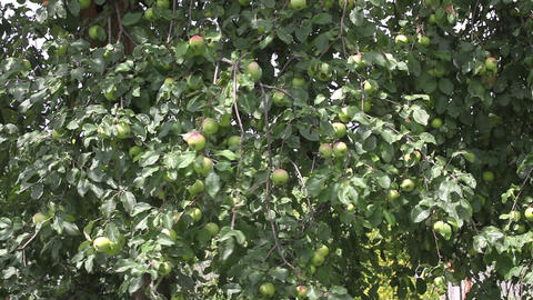Apples on the tree with wind Stock Video Footage