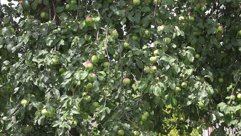 Apples On The Tree With Wind stock footage