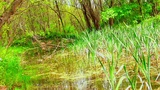 Beautiful Green Wetland, Marsh stock footage