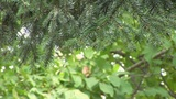 Pine Tree Branches stock footage
