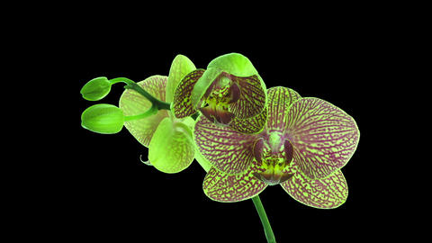 Time-lapse of opening Phalaenopsis KV Charmer orchid in RGB + ALPHA matte format Footage