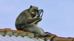 Monkey is nibbling stolen glasses Filmmaterial