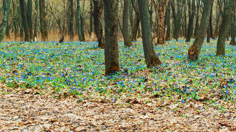 Wild glade with blue flowers of Scilla siberica Footage
