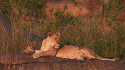 Lioness With Cubs Relaxing In Sunrise On A Rock stock footage