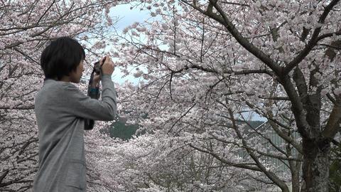 4K Woman Take Sakura Picture / 桜を撮る女性 stock footage