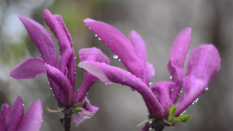 Purple magnolia flowers in spring cold rain Footage
