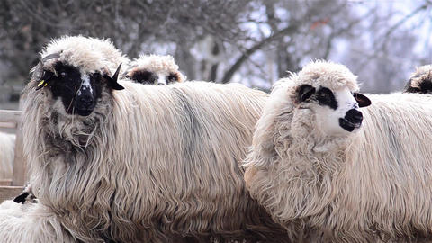 Sheep who sit and watch while the winter cold does not bother at all 2 Footage