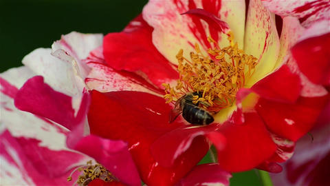 Bee pollen seeking in white with red flowers of a rose bushes 2 Footage
