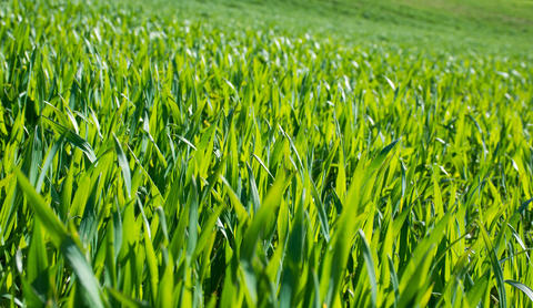 Fresh and Clean Spring Grass Photo