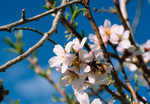 Bee in a Tree Spring Flower and Sky Photo
