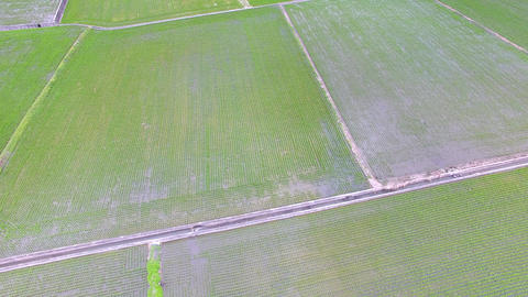 aerial view of rice field in Taiwan at spring Live影片
