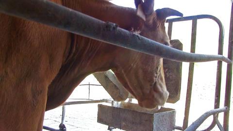 Milk Cattle On Dairy Farm Archivo