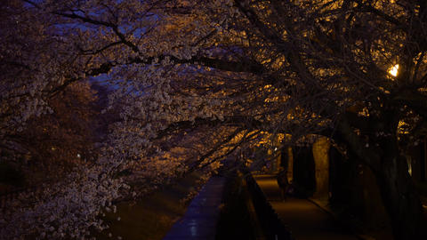 People walk under cherry blossoms or Sakura along a river in the night 影片素材