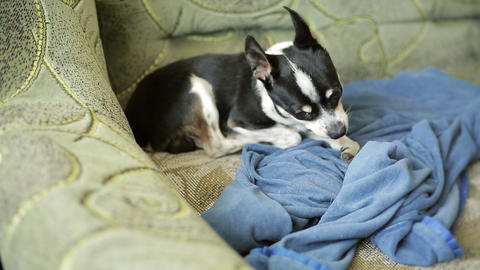 Small cute chihuahua dog resting and sleeping on sofa Footage
