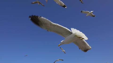 Many seagulls fly against the blue sky Footage
