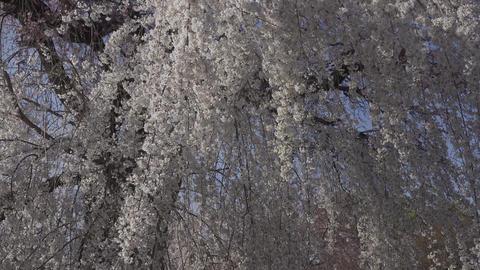 京都東山・三寧坂と桜 ビデオ