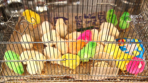 lovely colorful bright painted chicks Footage