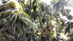 Plantation of edible chestnut in warm summer wind 43 Footage