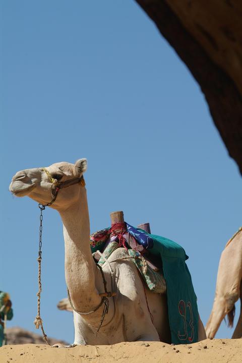 Egypt - Camel in the desert-Aswan フォト
