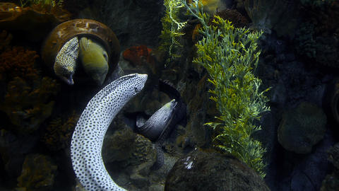 Long moray eels with open mouths living in their cave and swim around, moray in Footage