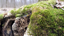 Early Spring Forest with Green Moss Close Up Footage