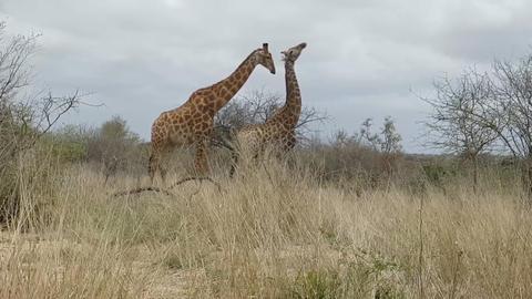 giraffes in the African savanna (Uganda) Footage