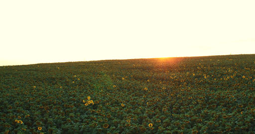 Flight and takeoff above Sunflowers at golden sunset, aerial panoramic view.4k Footage