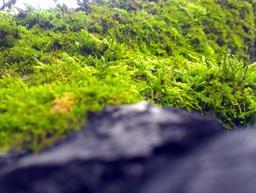 Green moss Fotografía