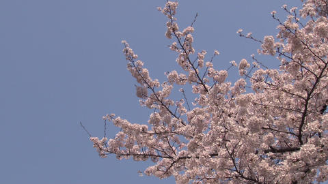 cherry blossom (sakura hanami) blue sky japan spring Footage