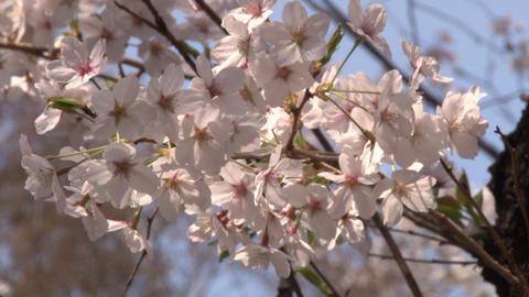 cherry blossom (sakura hanami) blue sky japan spring 影片素材