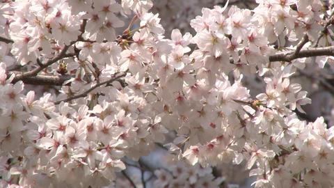 cherry blossom (sakura hanami) japan spring ビデオ