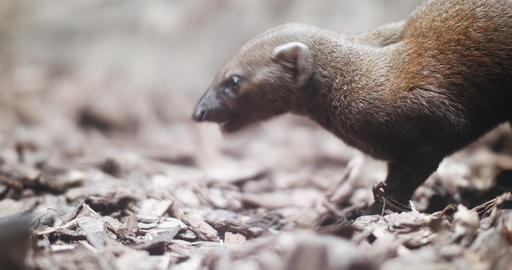 Portrait of a Mongoose Footage