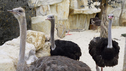 Ostriches run and peck each other, animals in the zoo, giant bird, close up of Footage