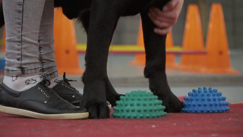 Cynologist put dog's paws at special balls for training balance Live Action