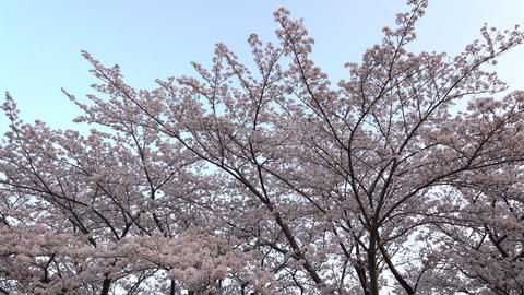 Cherry blossoms or Sakura in full bloom Footage