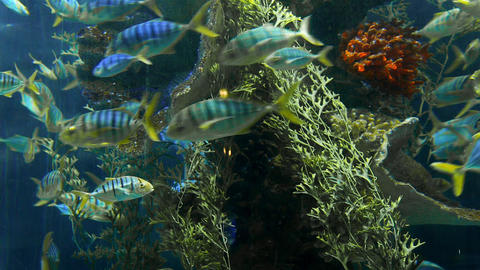 Striped fishes swim around rock reef under deep blue water, school of fish in Footage