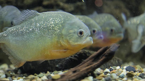 A flock of piranhas Footage